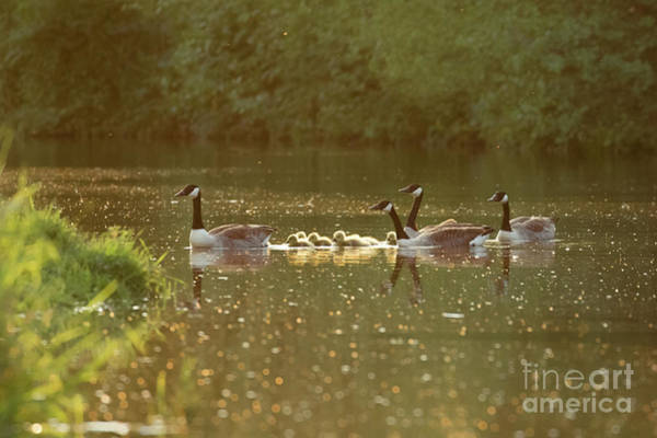Canada Goose Geese Family - Branta Canadensis - With Goslings On A Poster