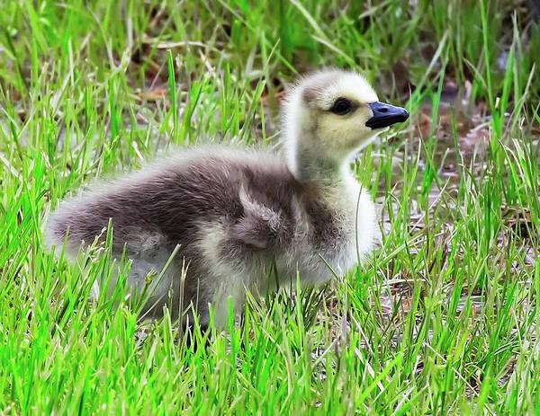 Canada Goose Gosling Poster