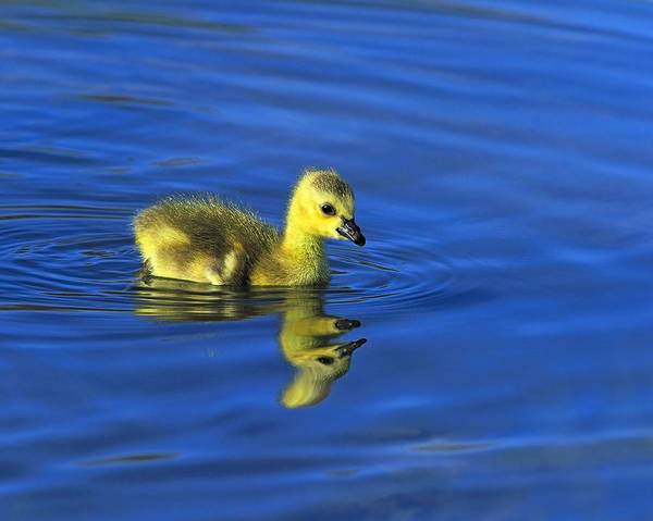 Canada Gosling Goes For A Swim Poster
