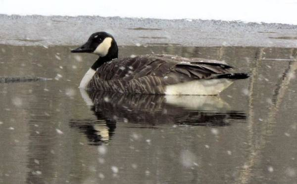 Canadian Goose In Michigan Poster
