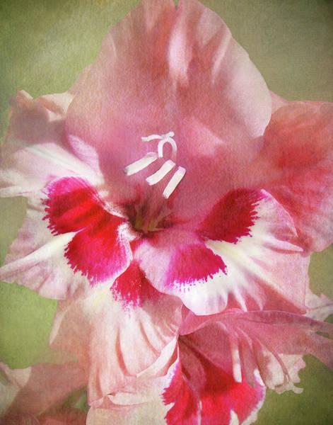 Candy Cane Gladiola Poster
