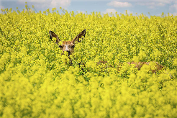 Canola Deer Poster