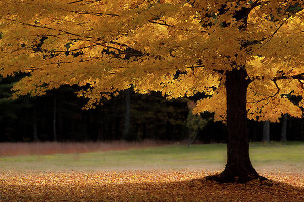 Canopy Of Autumn Gold Poster