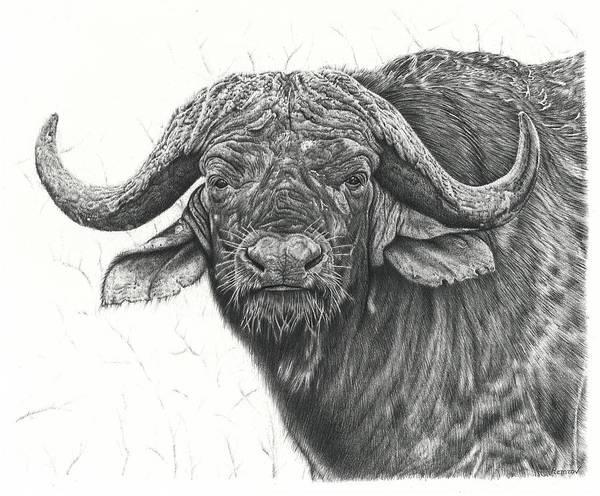 Cape Buffalo Poster