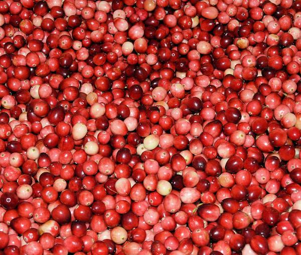 Cape Cod Cranberries Poster