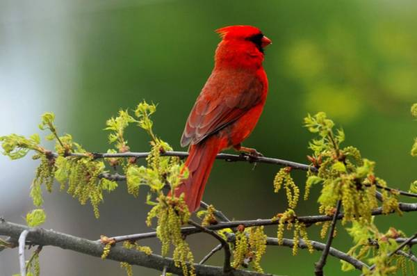Cardinal In Early Spring Poster