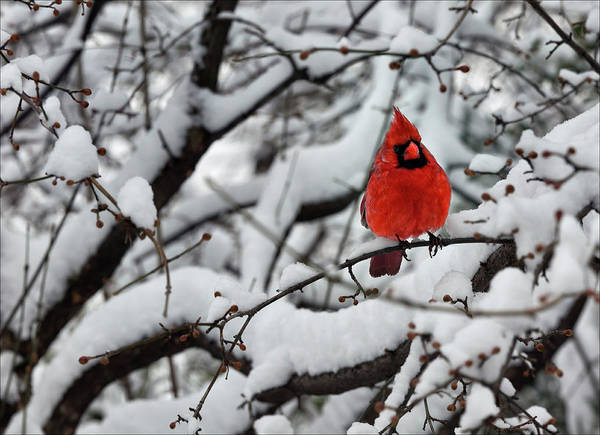 Cardinal In The Snow 2 Poster