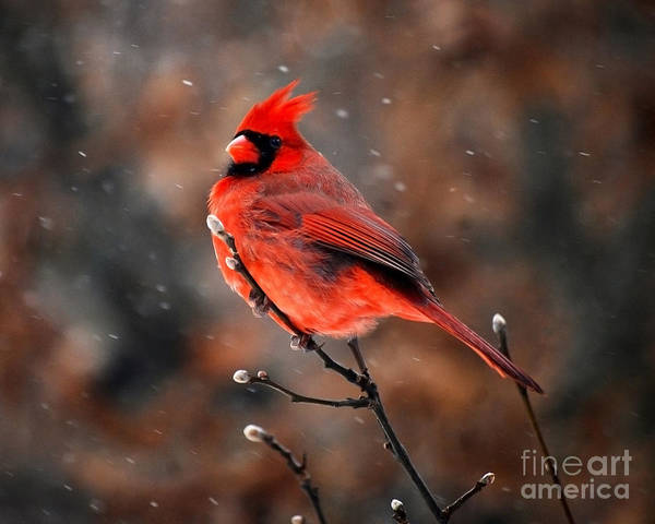 Cardinal On A Snowy Day Poster