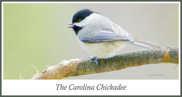 Carolina Chickadee, Animal Portrait Poster