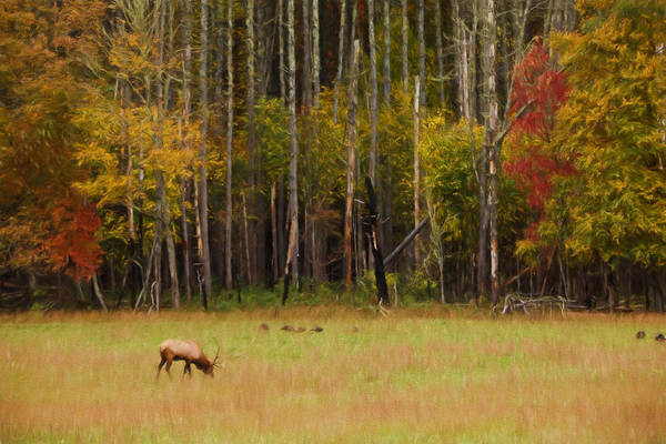 Cataloochee Valley Elk Poster