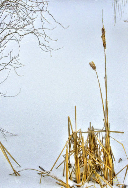 Poster featuring the photograph Cattails In Winter by Sam Davis Johnson