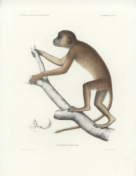 Central Yellow Baboon, Papio C. Cynocephalus Poster