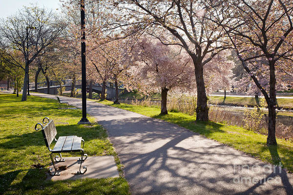 Charles River Cherry Trees Poster