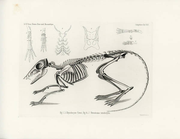 Poster featuring the drawing Checkered Elephant Shrew Skeleton by W Wagenschreiber