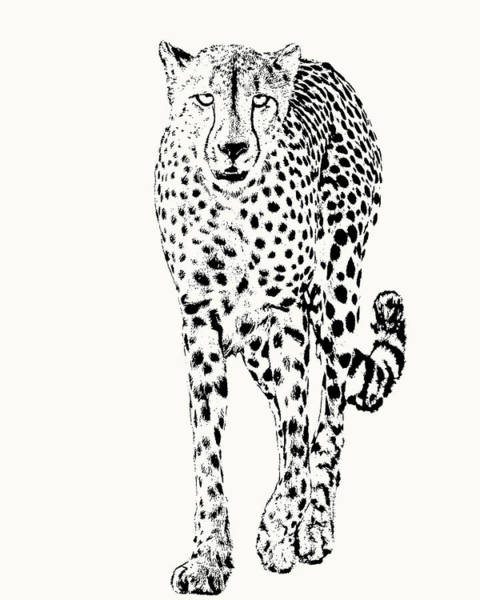 Cheetah Full Figure, Front-on View Poster