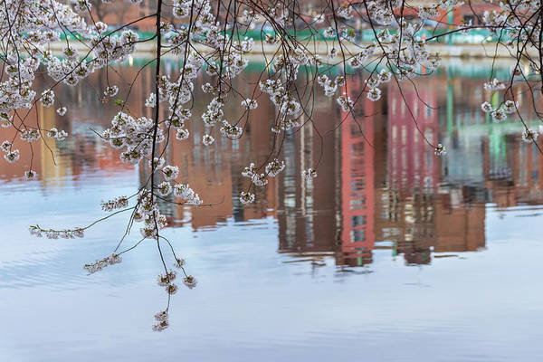 Cherry Blossom Reflections Poster
