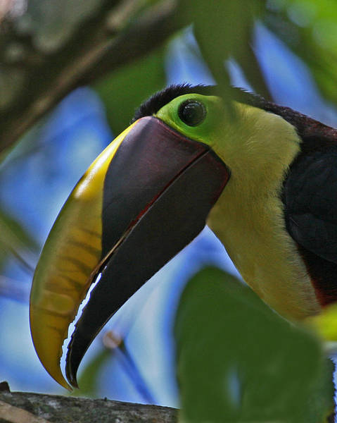 Chestnut-mandibled Toucan Poster