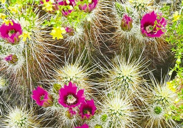 Cholla Cactus Blooms Poster