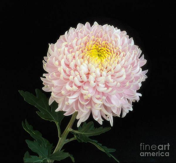 Chrysanthemum 'otome Pink' Poster