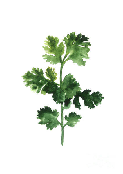 Cilantro Watercolor Art Print Painting Poster