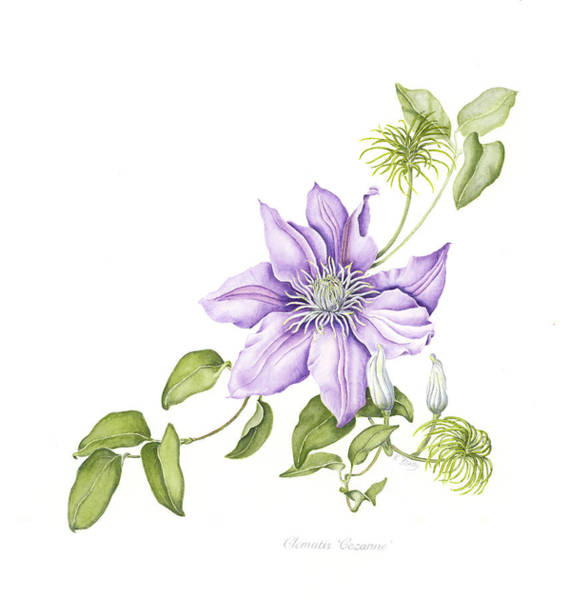 Clematis Cezanne Poster