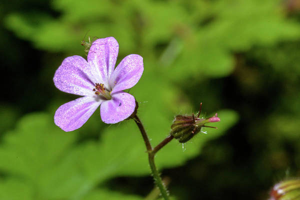 Close Up Of Shining Cranesbill A Poster