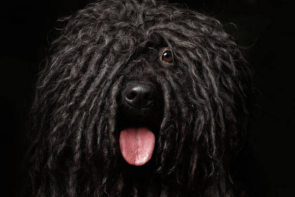 Close Up Portrait Of Puli Dog Isolated On Black Poster