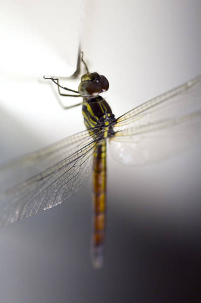 Close Up Shoot Of A Anisoptera Dragonfly Poster