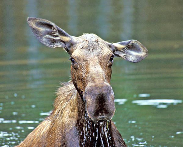 Close Wet Moose Poster