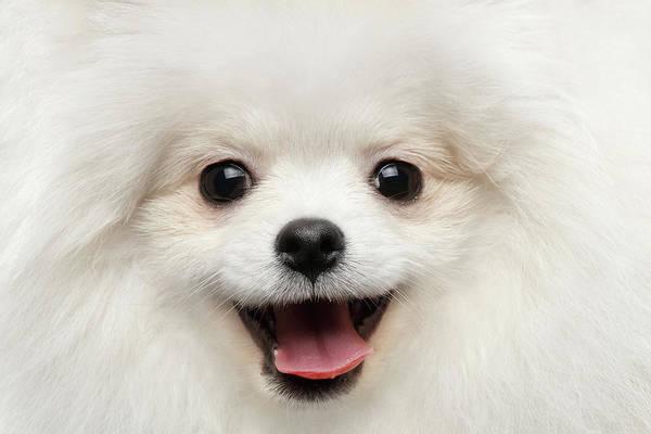 Closeup Furry Happiness White Pomeranian Spitz Dog Curious Smiling Poster
