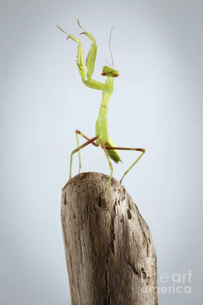 Closeup Green Praying Mantis On Stick Poster