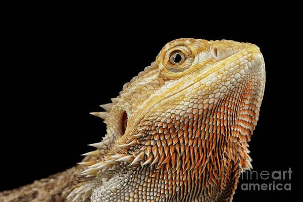 Closeup Head Of Bearded Dragon Llizard, Agama, Isolated Black Background Poster