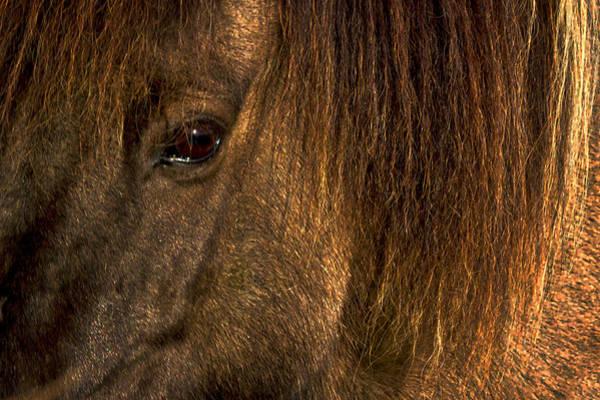 Closeup Of An Icelandic Horse #2 Poster