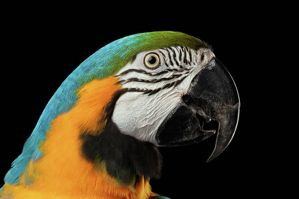 Closeup Portrait Of A Blue And Yellow Macaw Parrot Face Isolated On Black Background Poster
