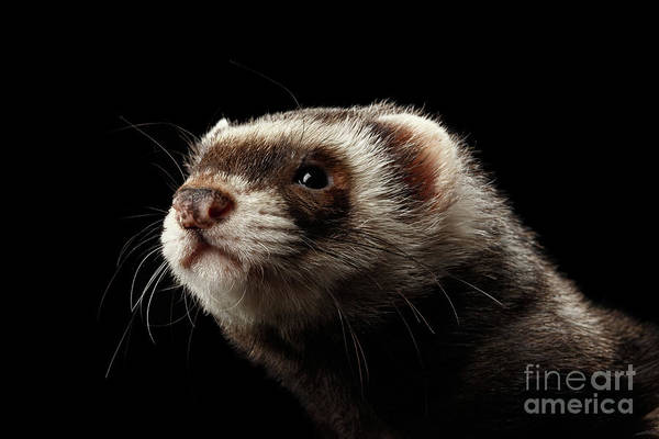 Closeup Portrait Of Funny Ferret Looking At The Camera Isolated On Black Background, Front View Poster