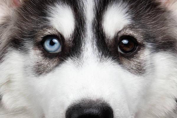 Closeup Siberian Husky Puppy Different Eyes Poster
