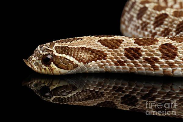 Closeup Western Hognose Snake, Isolated On Black Background Poster