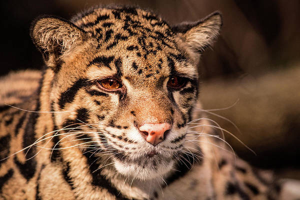 Clouded Leopard II Poster