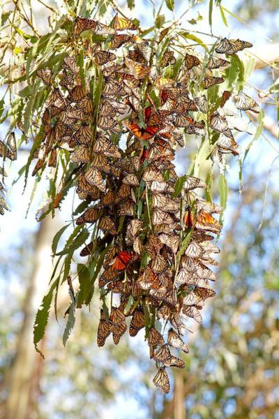 Clustered - Monarch Butterflies Poster