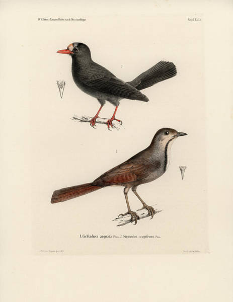 Poster featuring the drawing Collared Palm Thrush And Chestnut-fronted Helmetshrike by J D L Franz Wagner