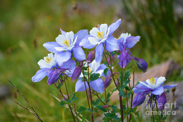 Poster featuring the photograph Colorado Columbines by Kate Avery