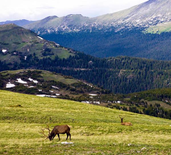 Colorado Elk Poster