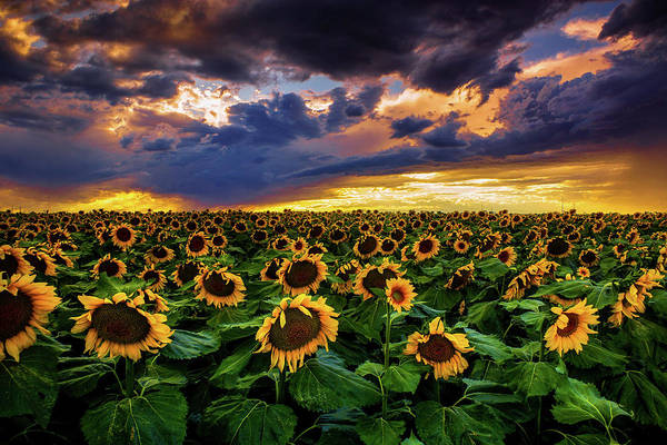 Colorado Sunflowers At Sunset Poster