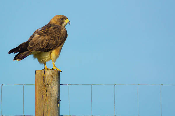 Poster featuring the photograph Colorado Swainson's Hawk Perched by John De Bord
