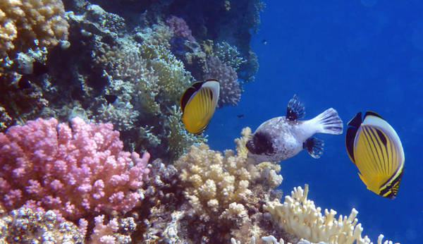Colorful Red Sea Fish And Corals Poster