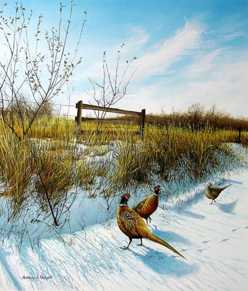 Colors Of Winter - Pheasants Poster