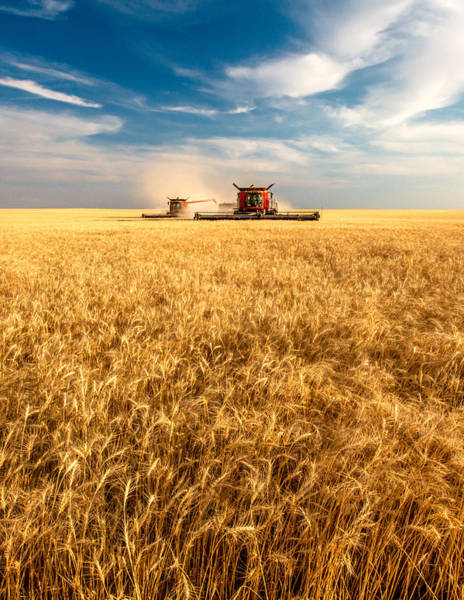 Combines Cutting Wheat Poster