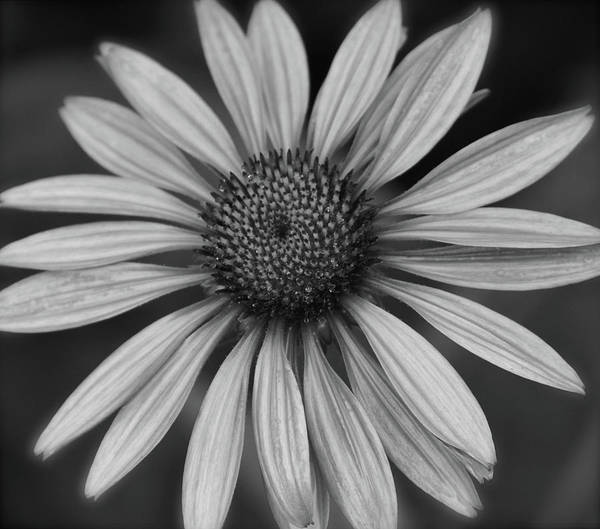 Coneflower In Black And White Poster