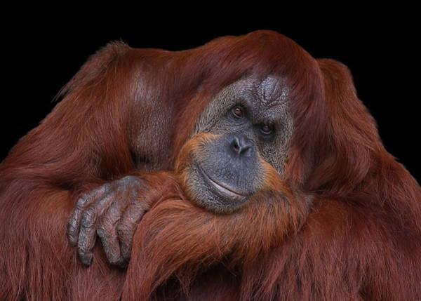 Contented Orangutan Poster