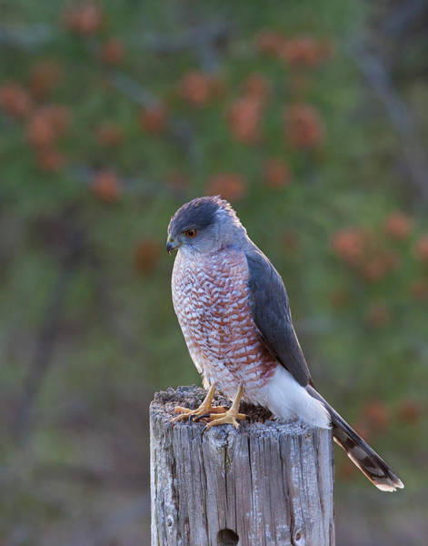 Coopers Hawk Perched Poster